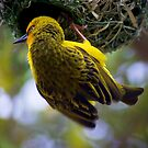 A WEAVER BIRD OF STH AFRICA by hugo