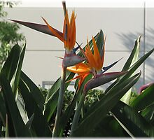 Birds of Paradise by PhotosbyNan