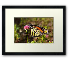 Monarch Delight Framed Print