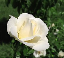 White Rose in the Sun by QGPennyworth