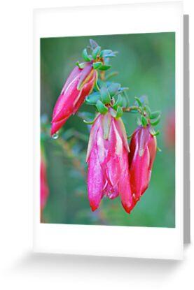 Darwinia Drops by Penny Smith