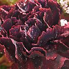 Rich Ruby Carnation  by Rosy Kueng Photography