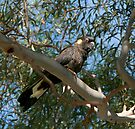 Yellow Tailed Black Cockatoo by LeeoPhotography