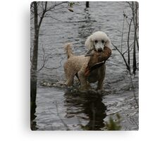 Standard Poodle with a duck Canvas Print