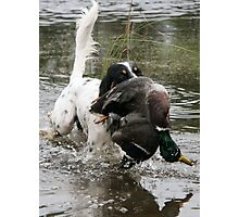 English Setter with a duck Photographic Print
