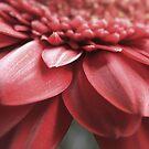 Blush by Amanda White
