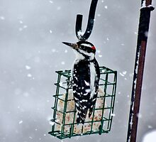 Hairy Woodpecker in the Storm II by Kathleen Daley
