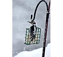Hairy Woodpecker in the Storm II Photographic Print