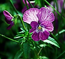 Dynamic Pansy by Catherine Melvin