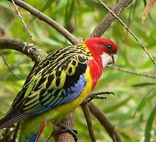 Eastern Rosella by Tom Newman