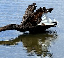 Black Swan Take Off by Tom Newman