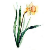 watercolor flower narcissus Photographic Print