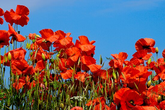 The Poppy Bank by rodsfotos
