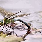 BLUE EMPEROR - Anax imperator by Magaret Meintjes