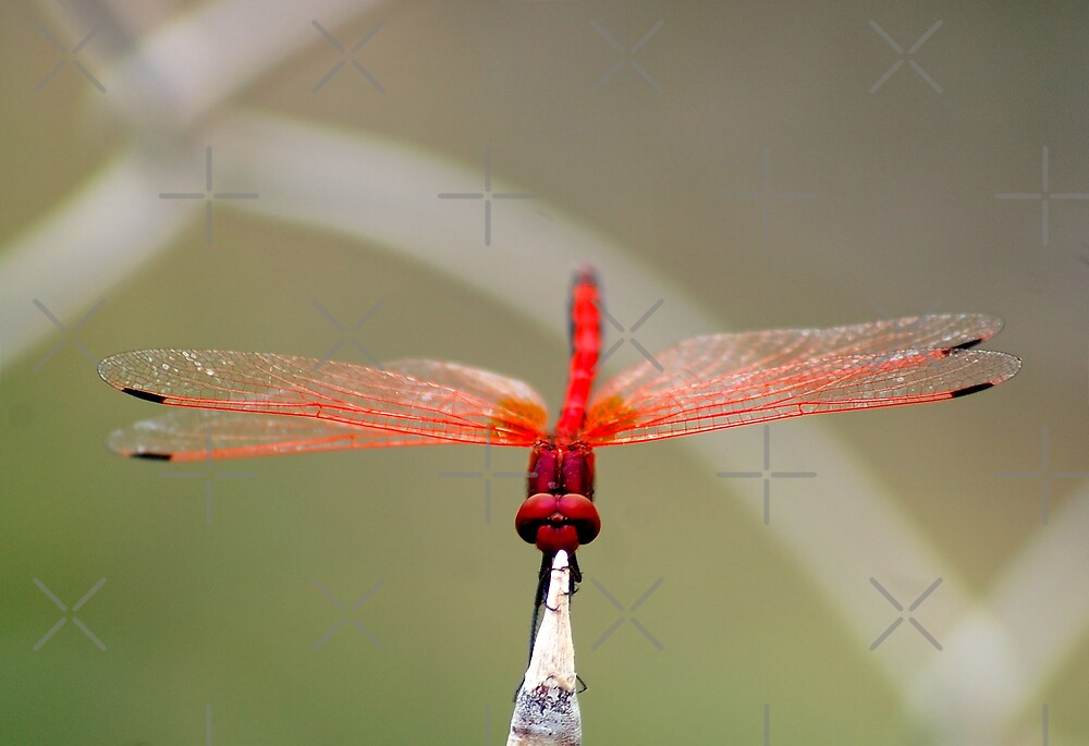 RED-VEINED DROPWING - TRITHEMISM ARTERIOSA by Magriet Meintjes
