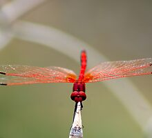 RED-VEINED DROPWING - TRITHEMISM ARTERIOSA by Magaret Meintjes