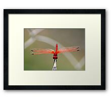 RED-VEINED DROPWING - TRITHEMISM ARTERIOSA Framed Print