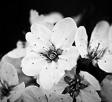 Spring Blossoms by VLFatum