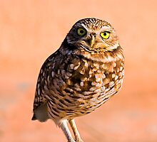 Burrowing Owl by Marvin Collins