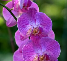 The Orchid by Kate Adams
