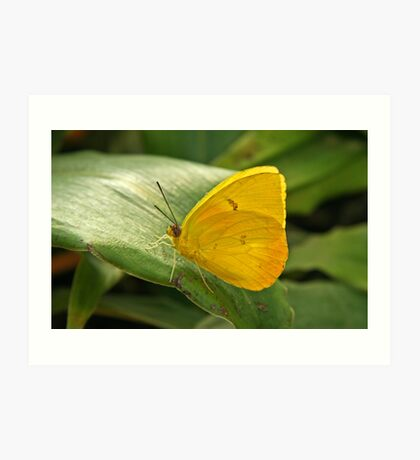 Sulfur Butterfly  Art Print