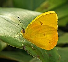 Sulfur Butterfly  by Robert Abraham