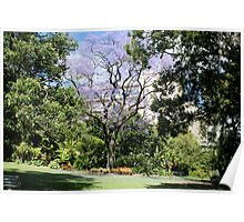Jacaranda in flower. Poster