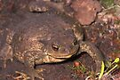 Horned Toad by SWEEPER