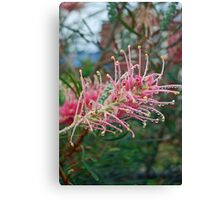 Pink Grevillea after the rain Canvas Print