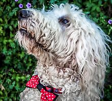 Baloo The Labradoodle by Sally Smith