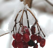 Highbush Cranberries in Snow by mnkreations