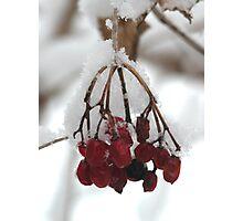 Highbush Cranberries in Snow Photographic Print