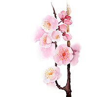 watercolor flowers of apricot Photographic Print