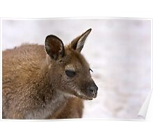 Beach Wallaby  Poster
