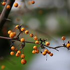 Hawthorn Berries by RolandTumble