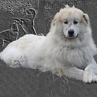 Pyrenees mountain dog in greybackground. by Robert Elfferich