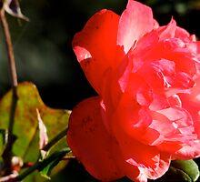 Rose of my yard               by BaZZuKa