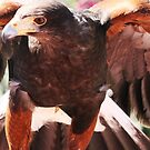 Harris Hawk by RichImage