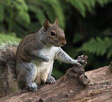 Baby Grey Squirrel by Franco De Luca Calce