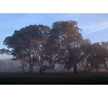 Eucalypts in Morning Mist Photographic Print