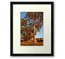 Magestic Redgum at Sunset Framed Print