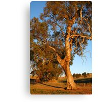 Magestic Redgum at Sunset Canvas Print