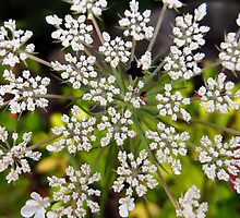 Queen Anne's Lace Macro by SRowe Art