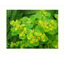 Euphorbia (flower) Art Print
