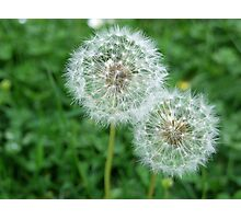Two dandelion clocks/summer meadow Photographic Print