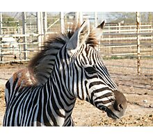 Zebra At The Zoo Photographic Print