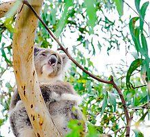 Australian Koala bear by Stanciuc