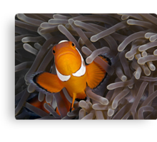Anemone Fish Canvas Print