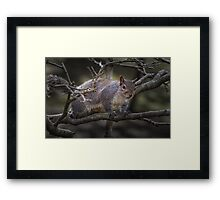 Eastern grey or gray squirrel Framed Print