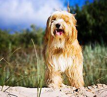Tibetan Terrier by dolnonsporting